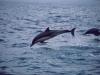 Dolphins near Wasini