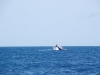 humpback-whale-off-shimoni