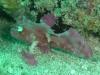 Purple Leaf Fish