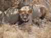 Lions at Tsavo East