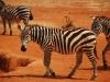 Zebras at Tsavo East