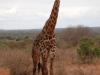 Maasai giraffe at Tsavo