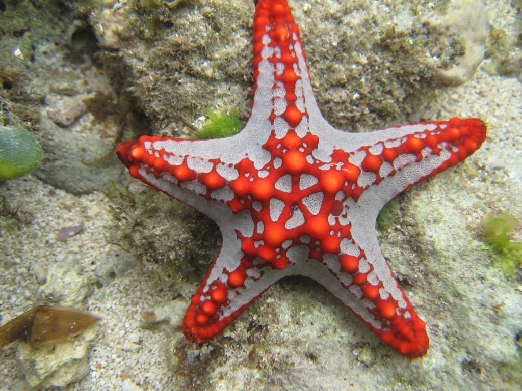 Protoreaster lincki   Sand and Shells – Kenyan beach house ...